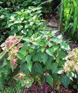 poinsettias in the garden july16