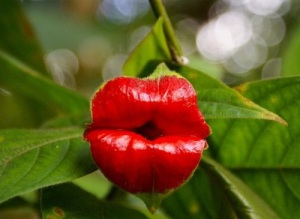 Psychotria-elata