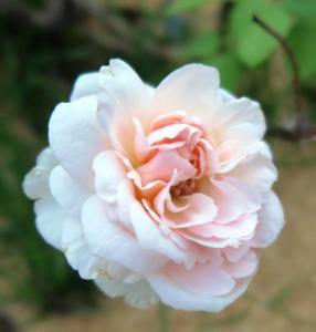 rose july20.16