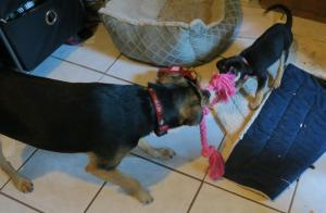 skooter and petal tug of war (4)