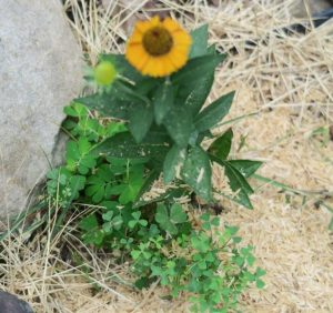 sneezeweed and weeds.july16