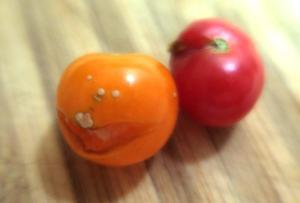 tomatoes splitting.july161