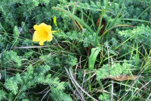 daylily weed aug16