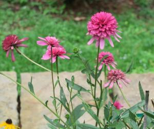 echinacea colors.aug8.161