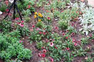 echinacea colors.aug8.164