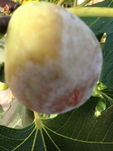 fig souring aug16