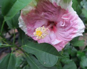 hibisucus tropoical aug15.16