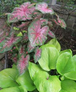 hosta and caladium aug.16