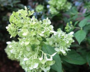 hydrangea limelight.16