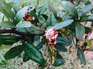 mayhaw with cedar quince rust.aug16
