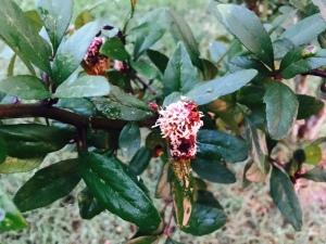mayhaw with cedar quince rust.aug16