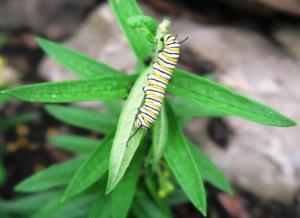 monarchl caterpillar on butterfly weed.aug8.16 garvan2