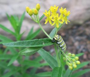 monarchl caterpillar on butterfly weed.aug8.16 garvan3