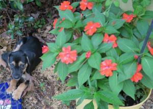 petals with impatiens.16