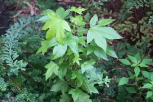 sweetgum weed aug.16