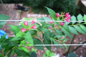weigelia reblooming aug.16