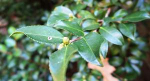 camellia-buds-sept-24-16