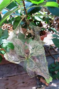 fall-webworms-sept-2