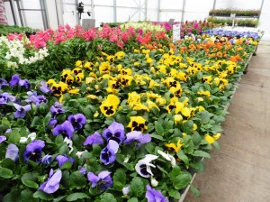 pansies-adams-greenhouse-mar15