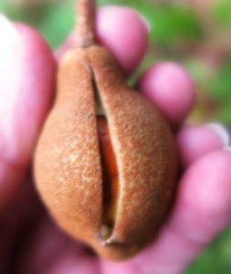 buckeye-seed-pod-oct-1-1