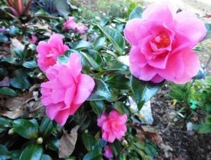 camellia-nov-7-14-1