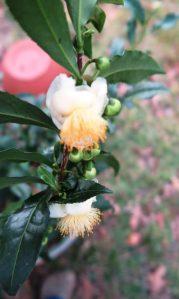 camellia-sinensis-blooms-oct18-161