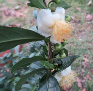 camellia-sinensis-blooms-oct18-162