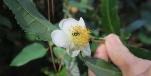 camellia-sinensis-el-dorado-16-5