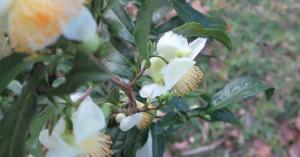 camellia-sinensis-oct30-16-1