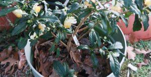camellia-sinensis-oct30-16-2