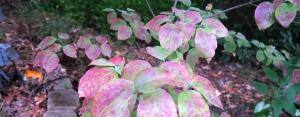 dogwood-coloring-oct1-16