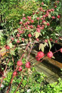 hibiscus-sabdariffa-roselle-16-2