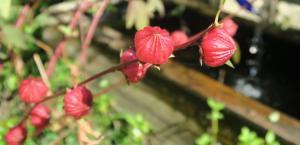 hibiscus-sabdariffa-roselle-16-3