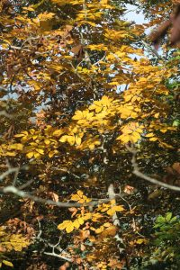 hickory-fall-color-16