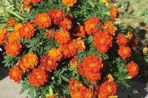 marigolds-fall-16