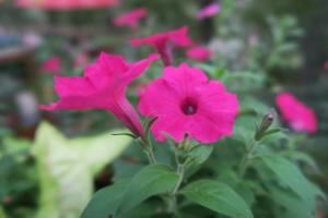 petunia-and-calibrachoa-oct1-1