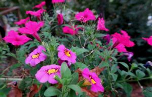 petunia-and-calibrachoa-oct1-2
