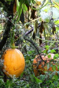 pumpkin-vine-in-tree-dm-16