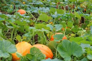 pumpkins-deb-oct16