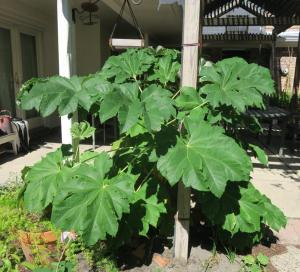 rice-paper-plant-tetrapanax-papyrifer