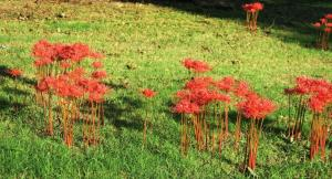 surprise-lilies-lycoris-oct1-16-3