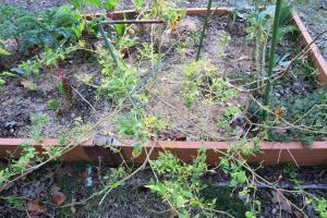 tomatillos-oct30-16-2