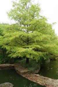 bald-cypress-clark-t-16-1