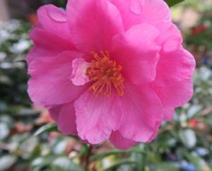 camellia-sasanqua-nov-5-162