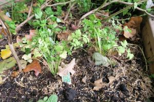 cilantro-and-parlsey-planted-nov-15-16