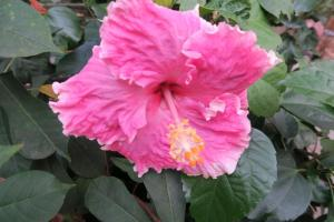 hibiscus-tropical-nov-16-2