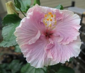hibiscus-tropical-nov-16-3