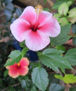 hibiscus-tropical-nov-16-4