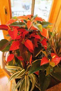 holiday-plants-nov-16-1