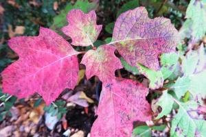 oakleaf-hydrangea-nov-16